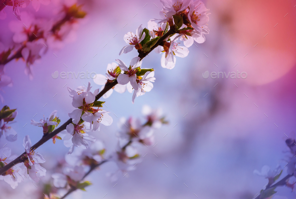 Blossom cherry - Stock Photo - Images