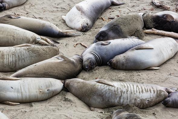 Sea elephant - Stock Photo - Images