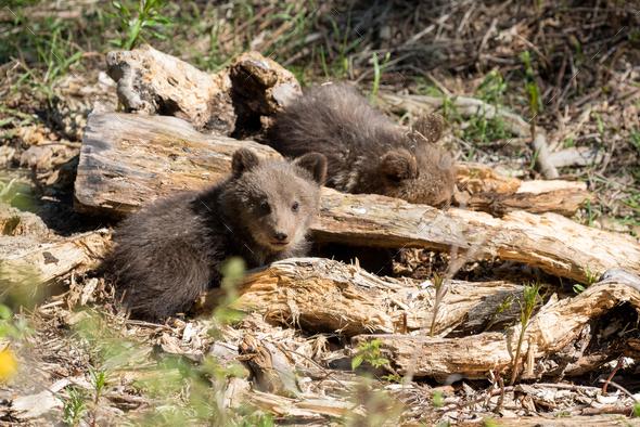 Wild brown bear cub closeup - Stock Photo - Images