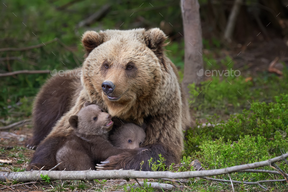 Brown bear with cub in forest - Stock Photo - Images