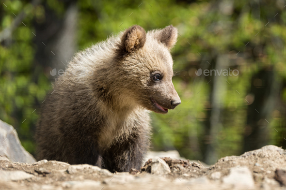 Wild brown bear cub closeup - Stock Photo - Images