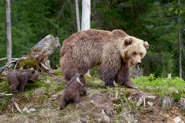 Big brown bear in the forest - Stock Photo - Images
