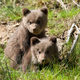 Wild brown bear cub closeup - PhotoDune Item for Sale