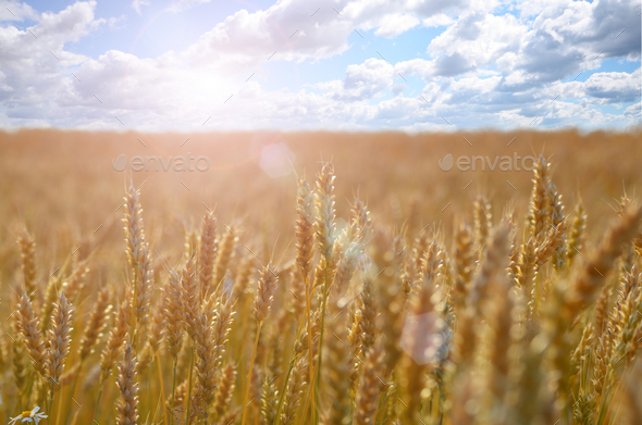 Wheat field under blue sky - Stock Photo - Images