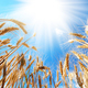 Wheat field against sun light - PhotoDune Item for Sale