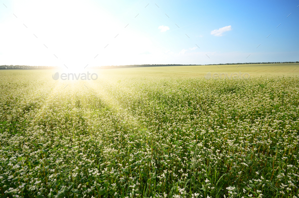 Buckwheat field under cloudy blue sky summer day - Stock Photo - Images