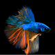 Siamese Half Moon Fighting Fish Betta Splendens - VideoHive Item for Sale