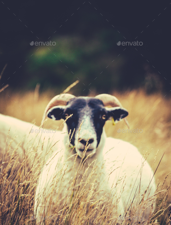 Sheep In The Long Grass - Stock Photo - Images