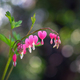 Flower of asian bleeding heart - PhotoDune Item for Sale