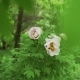 Blooming Tree Peony After Rain. Big White Peonies with Drops Bloom in the Spring Season - VideoHive Item for Sale