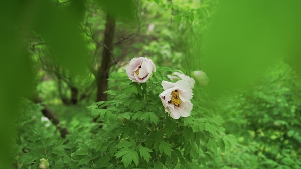 Blooming tree peony after rain big white peonies with drops bloom play preview video mightylinksfo