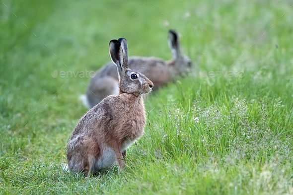 Hare in a clearing  - Stock Photo - Images