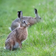 Hare in a clearing  - PhotoDune Item for Sale