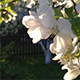 Blooming Apple Tree 3 - VideoHive Item for Sale