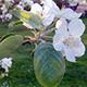 Blooming Apple Tree Flowers - VideoHive Item for Sale