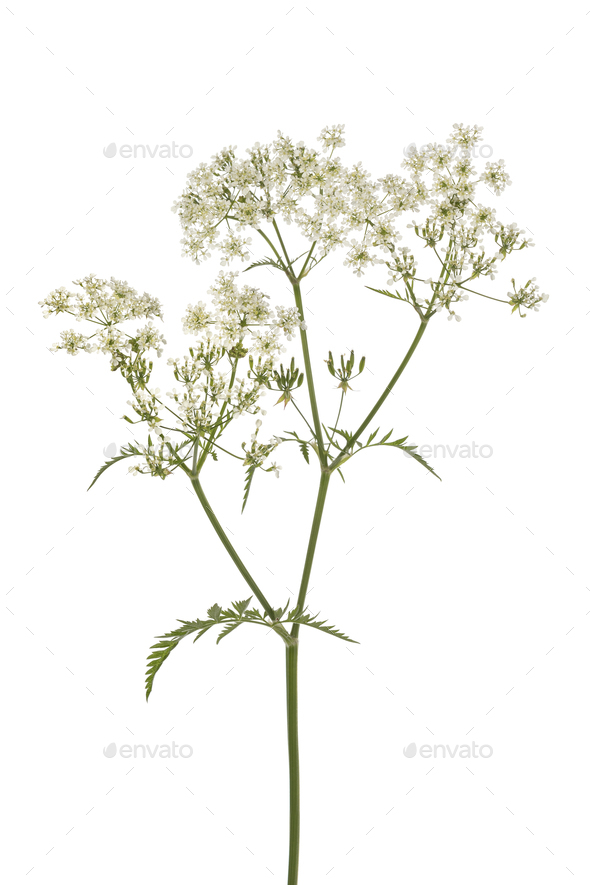 Twig of fresh cow parsley - Stock Photo - Images