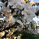 Blooming Apple Tree is Full of Flowers - VideoHive Item for Sale
