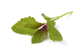 Fresh young raw tree spinach leaf - PhotoDune Item for Sale