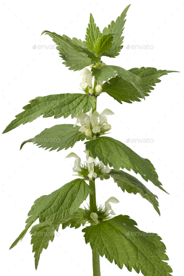 Twig of white dead nettle - Stock Photo - Images
