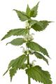 Twig of white dead nettle - PhotoDune Item for Sale