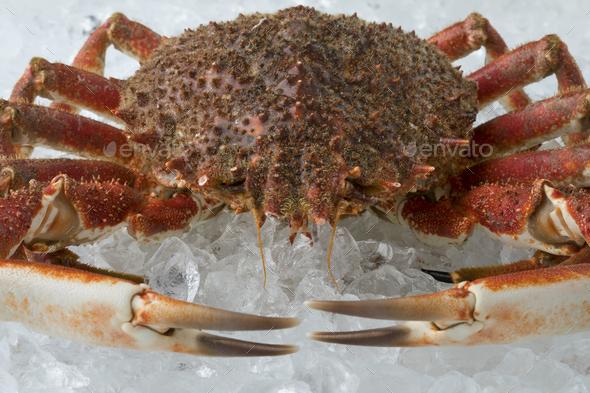 Single fresh raw spider crab on ice - Stock Photo - Images