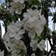 Flowers of Blossoming Apple Tree - VideoHive Item for Sale