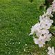 Flowering Apple Tree - VideoHive Item for Sale