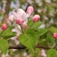 Blooming White Pink Flowers Of The Cherry Or Apple Tree - VideoHive Item for Sale