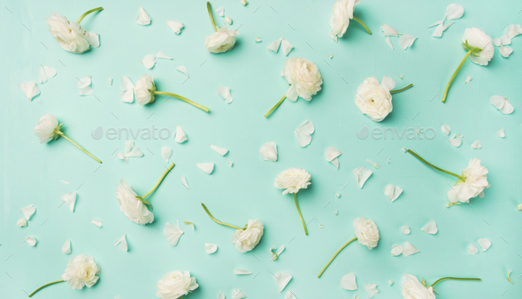 Flat-lay of white ranunculus flowers over blue background, wide composition - Stock Photo - Images