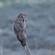 Great grey owl (Strix nebulosa) - PhotoDune Item for Sale