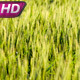 Cornfield at Sunset - VideoHive Item for Sale