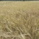 Panorama of the Field of a Ripe Rye in Summer Sunny Day, Stalks Shake From Wind - VideoHive Item for Sale