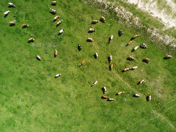 Aerial view of cows herd grazing on pasture - Stock Photo - Images
