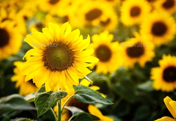 Beautiful Blossom Sunflowers in the Field - Stock Photo - Images