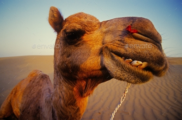 Happy camel in the desert, Rajasthan - Stock Photo - Images