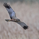 Western marsh harrier (Circus aeruginosus) - PhotoDune Item for Sale