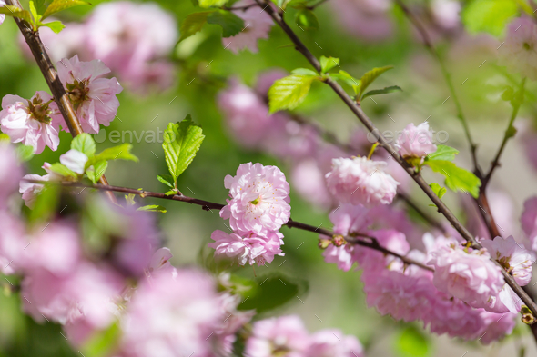 Blossom almond - Stock Photo - Images