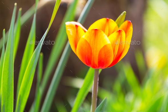 Tulip - Stock Photo - Images