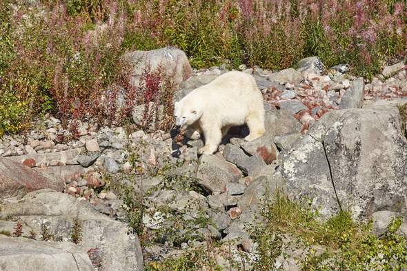 Female polar bear on the wilderness. Wild nature environment. Horizontal - Stock Photo - Images
