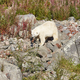Female polar bear on the wilderness. Wild nature environment. Horizontal - PhotoDune Item for Sale