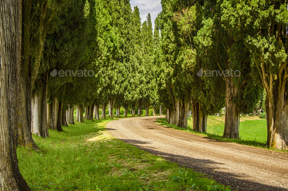 Cypress alley - Stock Photo - Images