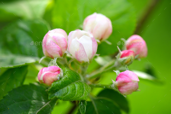 Apple blossom buds on the natural background - Stock Photo - Images