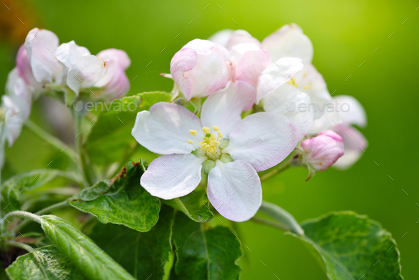 Apple flowers in the sunshine over natural green background - Stock Photo - Images