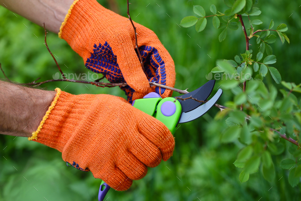 Spring pruning roses in the garden, gardener's hands with secate - Stock Photo - Images