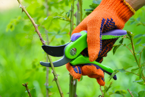 Spring pruning roses in the garden, gardener's hand with secateu - Stock Photo - Images