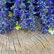 Ajuga reptans flowers on a wooden background - PhotoDune Item for Sale