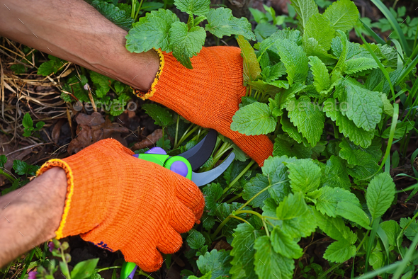 Man's hands harvesting fresh melissa on garden - Stock Photo - Images