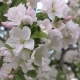 Beauty Blooming White And Pink Flowers Of The Apple Tree - VideoHive Item for Sale