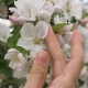 Woman Hand Lovingly Touches And Caressing The Blooming White Flowers Of The Tree - VideoHive Item for Sale