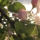 Blooming Flower Apple Tree Sways In Wind And The Sun Shines Through Its Petals - VideoHive Item for Sale